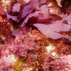 red seaweeds